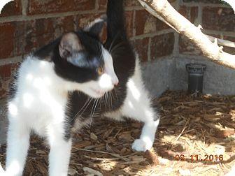 Domestic Shorthair Kitten for adoption in haslet, Texas - Ladyluck