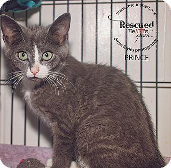 Domestic Shorthair Kitten for adoption in Cincinnati, Ohio - Princess