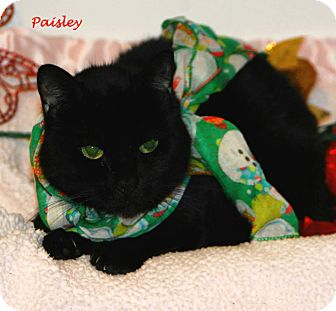 Domestic Shorthair Cat for adoption in Salamanca, New York - Paisley