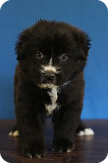 Labrador Retriever Mix Puppy for adoption in Waldorf, Maryland - Blue