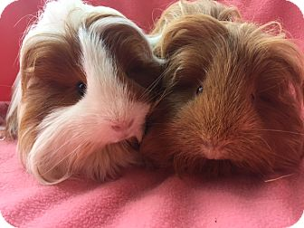 Guinea Pig for adoption in Highland, Indiana - Ava