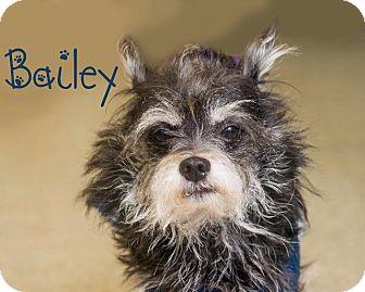 Schnauzer (Miniature) Mix Dog for adoption in Somerset, Pennsylvania - Bailey
