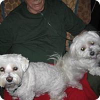 Bichon Frise/Maltese Mix Dog for adoption in Fultonham, New York - Georgie & Gracie