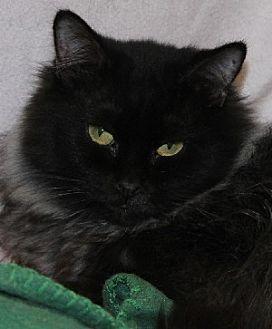 Domestic Longhair Cat for adoption in Savannah, Missouri - Lillian