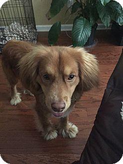 Hound (Unknown Type)/Irish Setter Mix Dog for adoption in Newnan, Georgia - Valentine