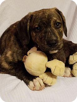 Boxer Mix Puppy for adoption in Newark, Delaware - Tank