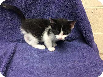Domestic Shorthair Kitten for adoption in Janesville, Wisconsin - Skittles