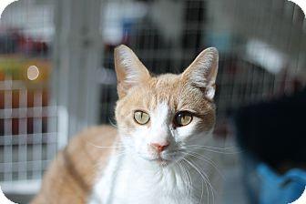 Domestic Shorthair Cat for adoption in Covington, Louisiana - Ceasar