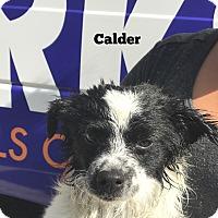 Adopt A Pet :: Calder - Thousand Oaks, CA
