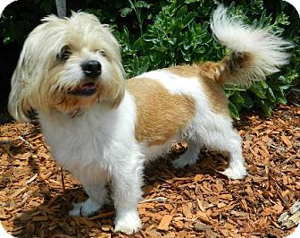 Lhasa Apso Dog for adoption in Columbus, Nebraska - Ruben