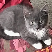 Adopt A Pet :: Bean - Lexington, KY