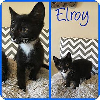 Domestic Shorthair Kitten for adoption in Covington, Kentucky - Elroy