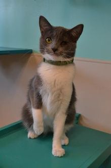 Domestic Shorthair/Domestic Shorthair Mix Cat for adoption in Elkhorn, Wisconsin - Poppy