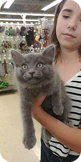 Domestic Mediumhair Kitten for adoption in Ogden, Utah - Mouse