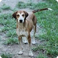 Pointer/Hound (Unknown Type) Mix Dog for adoption in Portland, Maine - ANNIE