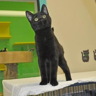 Domestic Shorthair/Domestic Shorthair Mix Cat for adoption in Suwanee, Georgia - Cinder