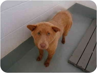Chow Chow Mix Dog for adoption in Greenville, North Carolina - Pennie