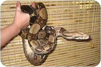 Snake for adoption in Durham, North Carolina - Jumbo