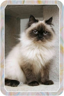 Himalayan Cat for adoption in Sterling Heights, Michigan - Bijou - ADOPTED!