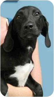Labrador Retriever/Basset Hound Mix Puppy for adoption in Hammonton, New Jersey - Bradley