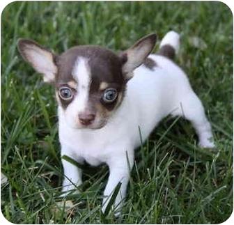 Rat Terrier/Fox Terrier (Toy) Mix Puppy for adoption in Newport Beach, California - NOEL