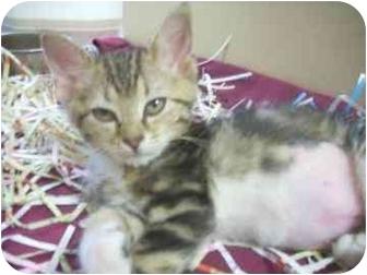 Domestic Shorthair Kitten for adoption in North Charleston, South Carolina - Precious
