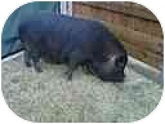 Pig (Potbellied) for adoption in Kaufman, Texas - Bella