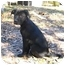 Photo 1 - Boxer/Labrador Retriever Mix Puppy for adoption in Tallahassee, Florida - Ruth