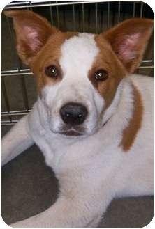 Blue Heeler Mix Puppy for adoption in Alamogordo, New Mexico - Ernie