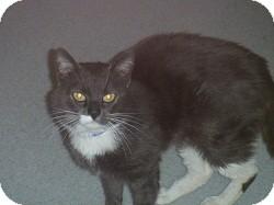 Domestic Shorthair Cat for adoption in Hamburg, New York - Tinker