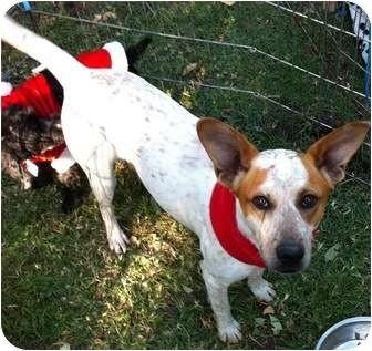 Australian Cattle Dog Mix Dog for adoption in Santa Monica, California - PALOMA