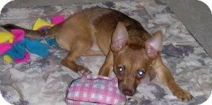 Chihuahua/Miniature Pinscher Mix Dog for adoption in Sacramento, California - Penny