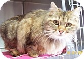 Domestic Longhair Cat for adoption in Silver City, New Mexico - Furr-A-Lot
