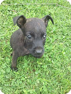Terrier (Unknown Type, Small) Mix Puppy for adoption in Indian Trail, North Carolina - Axle