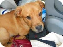 Labrador Retriever/Hound (Unknown Type) Mix Dog for adoption in East Hampton, New York - Joy