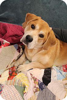 Labrador Retriever/Basset Hound Mix Dog for adoption in Marietta, Georgia - LEVI