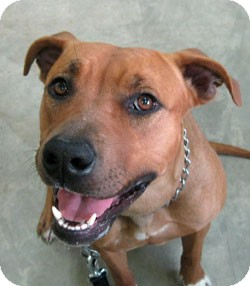 Boxer/American Pit Bull Terrier Mix Dog for adoption in Bonners Ferry, Idaho - Roxi