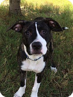 American Bulldog Mix Dog for adoption in Hatifeld, Pennsylvania - Solomon