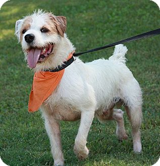 Airedale Terrier Mix Dog for adoption in Portland, Maine - Neville ($50 off)