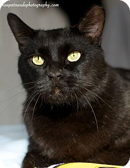 Domestic Shorthair Cat for adoption in Jamaica Plain, Massachusetts - Marcellus Wallace
