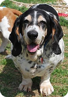 Basset Hound Dog for adoption in Grapevine, Texas - Brother Baxter
