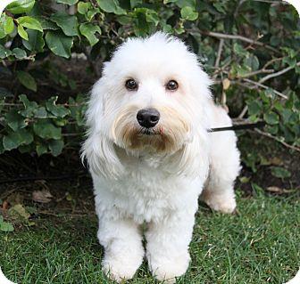 Havanese Mix Dog for adoption in Newport Beach, California - ELLINGTON
