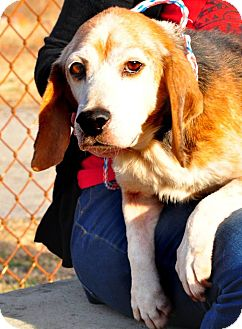 Beagle Dog for adoption in Colonial Heights, Virginia - Andy