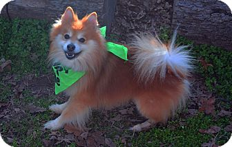Pomeranian Dog for adoption in Burleson, Texas - CJ