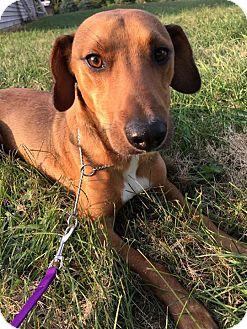 Labrador Retriever Mix Dog for adoption in Maryville, Missouri - Archie
