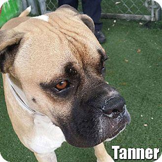 Boxer Mix Dog for adoption in Encino, California - Tanner