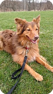 Australian Shepherd/Shepherd (Unknown Type) Mix Dog for adoption in Ypsilanti, Michigan - Zeus