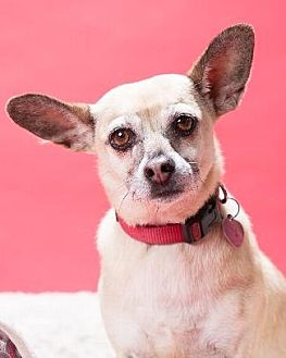 Chihuahua Mix Dog for adoption in Pt. Richmond, California - BONITA