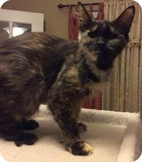 Domestic Mediumhair Cat for adoption in Kennedale, Texas - Rizzo