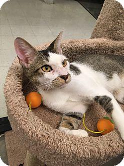 Domestic Shorthair Cat for adoption in Plainville, Massachusetts - Tank